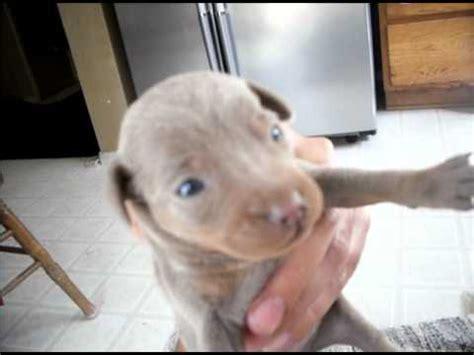 chipin puppies for sale chipin puppies for sale 1 week chihuahua mini pinscher hybrid so