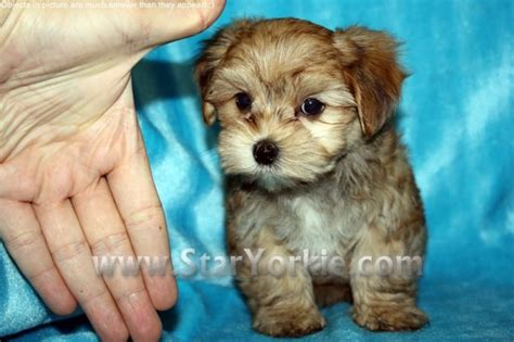 teacup yorkies for sale in ta fl 403 forbidden