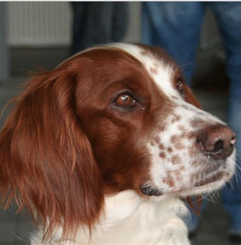 red setter dog names nine irish dog breeds and irish dog name ideas daily dog