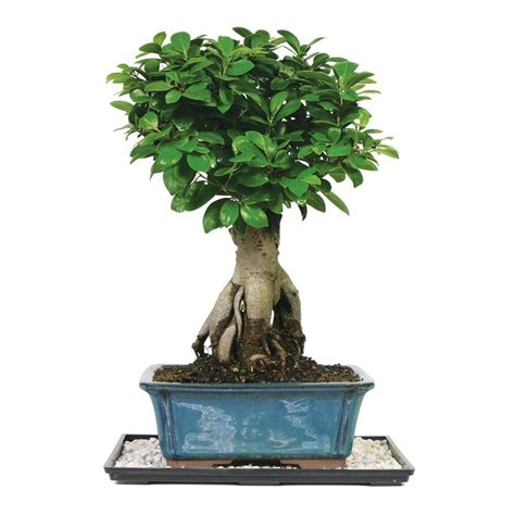 How Much Are Real Trees At Home Depot by How Much Are Home Depot Trees 28 Images Wonderful