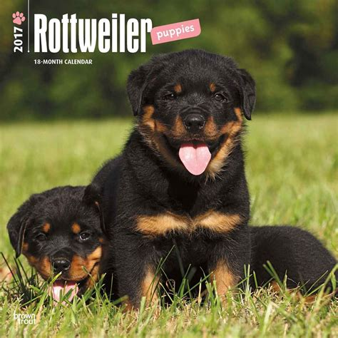 rottweiler breeders in uk rottweiler puppies calendar 2017 calendar club uk