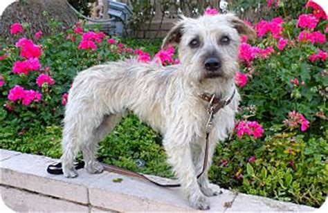 norwich terrier yorkie mix cinnamon adopted los angeles ca yorkie terrier norwich terrier mix