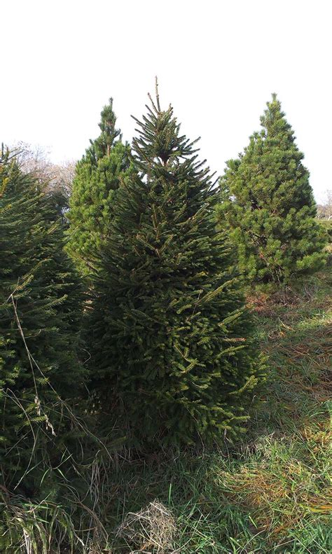 gallery meadow lane farm galway christmas trees