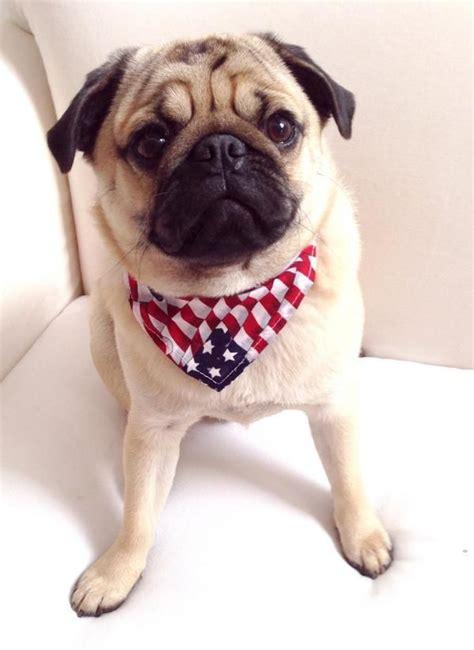 otis pug 1000 images about pugs on a pug pug and brindle pug