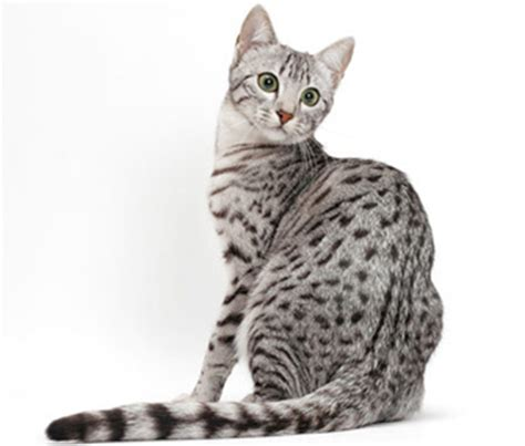 Exotic Cat Breeds: 8 Felines From Faraway Lands