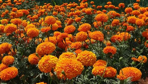 fiori calendula foto gratis calendula fiori giardino orange immagine
