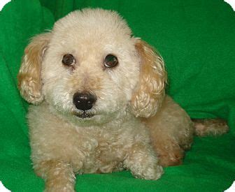 bichon frise puppies nc wesley adopted nc bichon frise mix