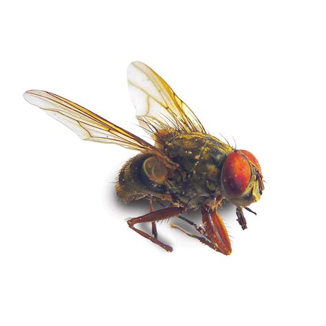 lesser house fly flying insects barrettine environmental health