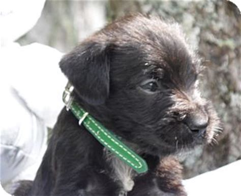 yorkies in maine yorkie poodle puppies in maine breeds picture