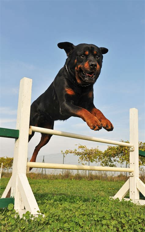 best ways to rottweilers 7 best ways to your rottweiler reference