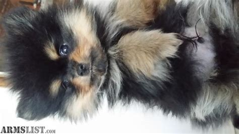 blooded pomeranian armslist for sale trade 2 blooded pomeranians for sale trade