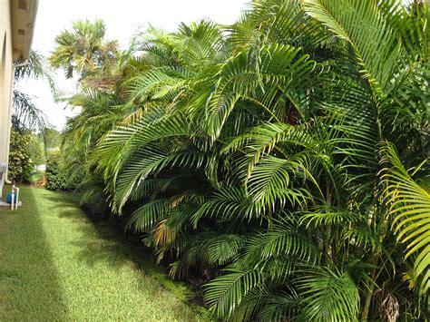 areca palm trees construction landscape
