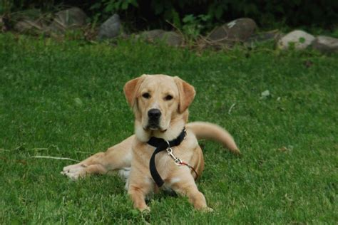 golden labrador golden retriever lab mix 19 best images about boxer articles on pinterest boxer