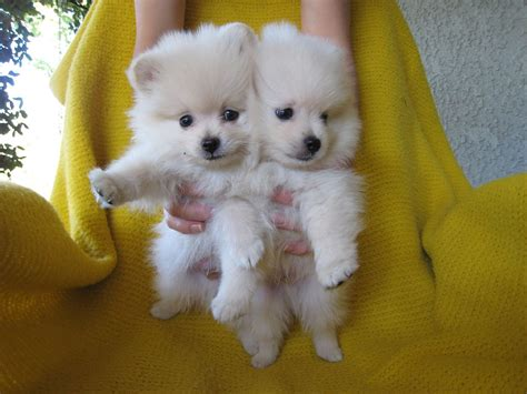white baby pomeranian 60 baby pomeranians for every minute of your lunch sweet pomeranian