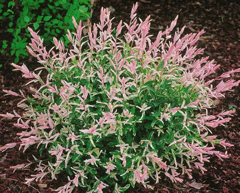 Saule Crevette Hiver by P 233 Pini 232 Res Plessis Luzarches Salix Plessis Luzarches