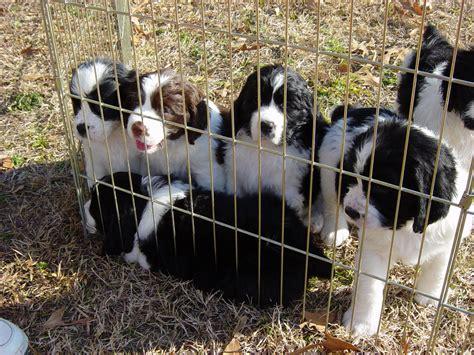 springer spaniel puppies wi file springer spaniel puppies jpg