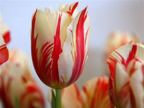 wedding flowers striped tulips