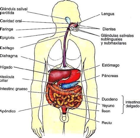 el sistema digestivo y sus organos el cuerpo humano image gallery sistema digestivo