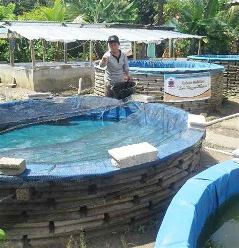 Pakan Ikan Lele Bioflok semangat pak jambu mempopulerkan lele sistem bioflok di
