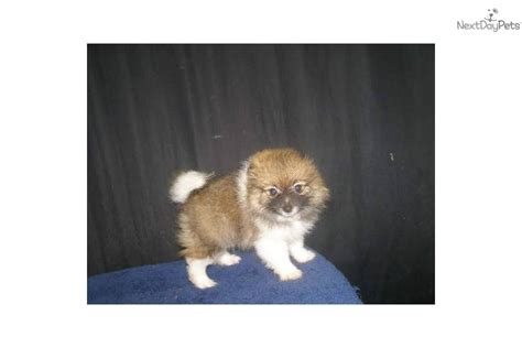 pomeranian for sale in nj meet wendy a pomeranian puppy for sale for 610 pomeranian nj ny ct md de