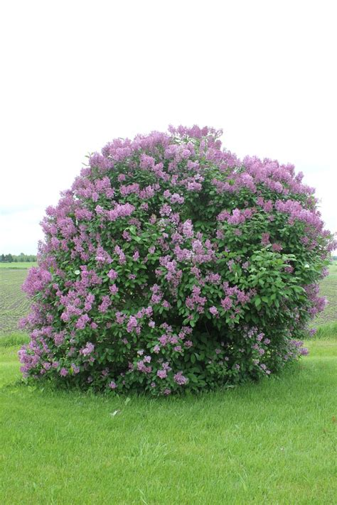 lilacs bush lilac bush in bloom spring lilacs pinterest