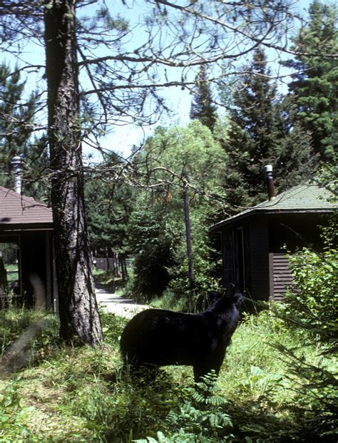 bear in backyard north american bear center what is a quot nuisance quot black bear