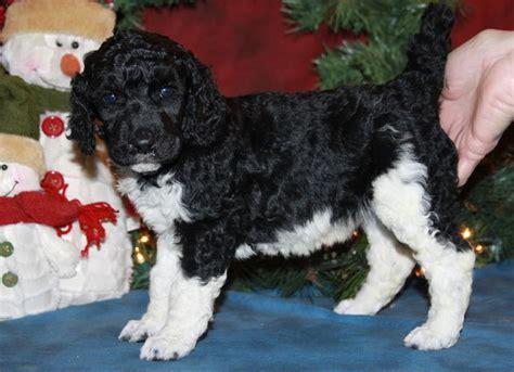 parti poodle puppies parti poodle puppy renowned poodlesrenowned poodles