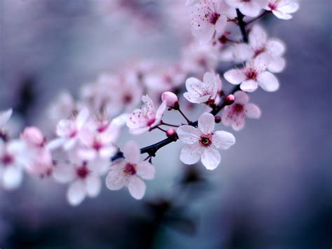 images of cherry blossoms cherry blossoms auntie dogma s garden spot