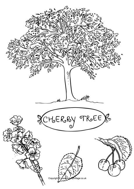 coloring page cherry tree cherry tree colouring page