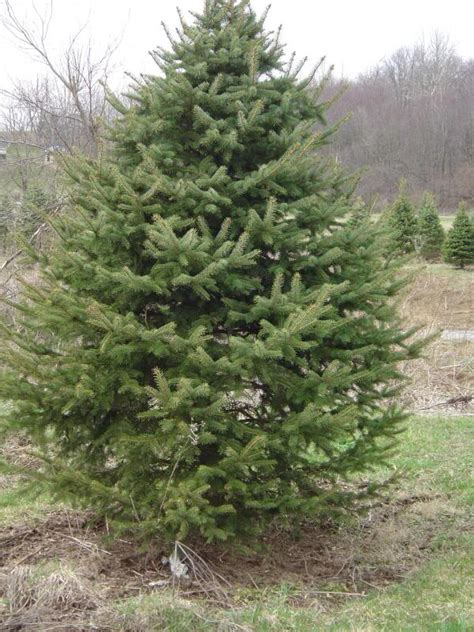 spruce tree pictures photos facts infor on spruces