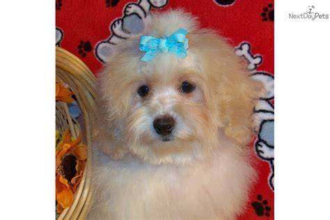 poovanese puppies for sale havanese puppy for sale near southern illinois illinois a1a848a2 e411