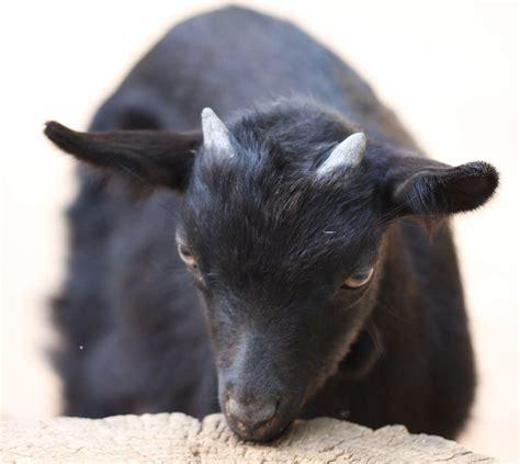 black goat file little black goat 001 jpg the work of god s children