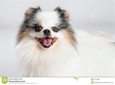 happy pomeranian closeup happy pomeranian stock photo image 70102660