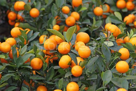 orange trees new year mandarine orange tree for celebrating new year