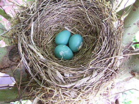 file robins eggs 515297960 jpg wikimedia commons