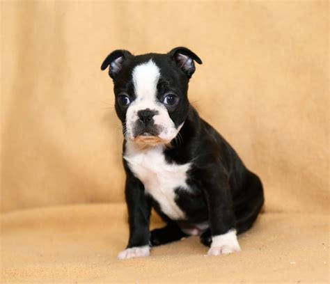 boston terrier puppies for sale in michigan lovable boston terrier pups craigspets