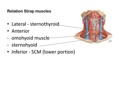 Similiar Strap Muscles Keywords