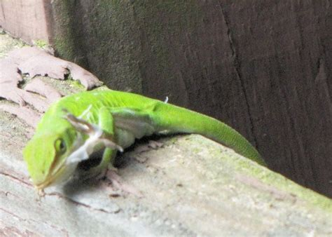 travelin show 187 archive 187 green anole shedding
