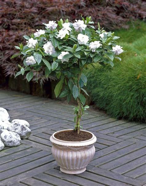 growing gardenia  pot jardin de sombra jardineria en