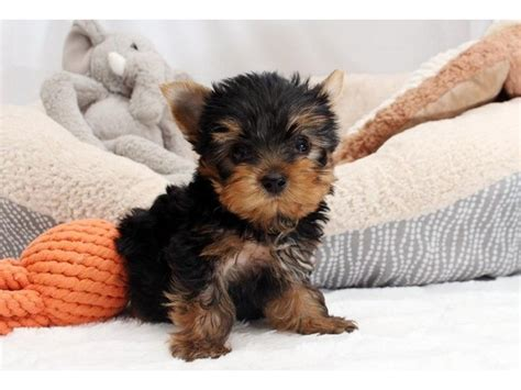 yorkie puppies for sale in south dakota terrier mazing teacup yorkie puppies animals sioux falls south dakota