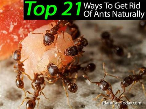 get rid of ants ants and baby powder on
