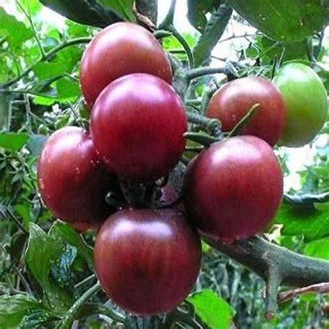Purple Pearl Tomato 20 pcs black pearl tomato seeds high vitamin plant seeds