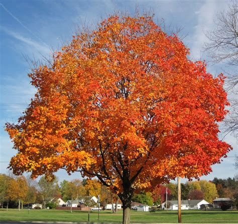 maple tree width sugar maple trees for sale buy sugar maple trees low prices