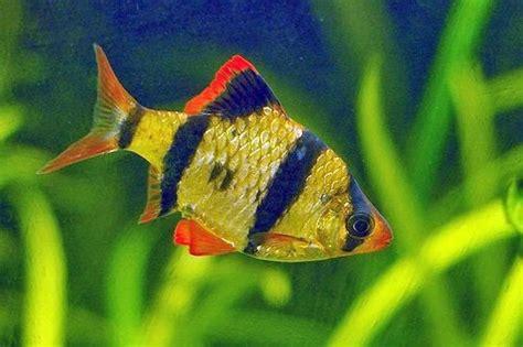 Pakan Ikan Hias Sumatra ikan yang cocok untuk aquascape akuarium ikan hias