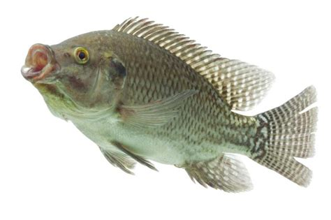 how to raise tilapia in your backyard how to raise tilapia in drums gone outdoors your adventure awaits