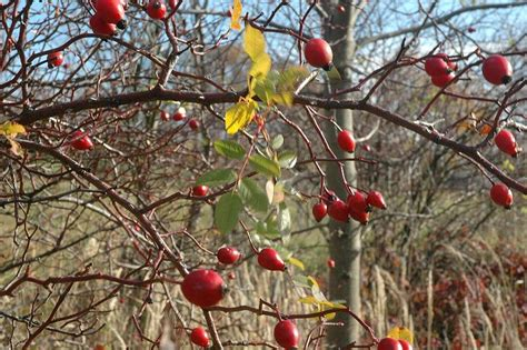 rosehip syrup kitchenspells