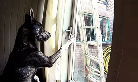 how to unlock a house window watch this dog unlock a window and sneak out of the house