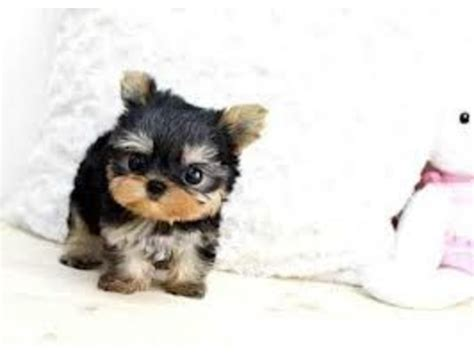 yorkie puppies for sale in grand rapids mi terrier puppies grand rapids mi photo