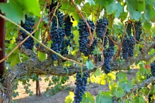 Trellis For Vines Lodi Wine Commission Blog Abba Vineyard Turns Sunlight