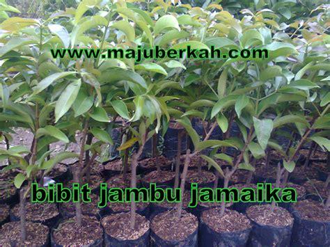 Harga Bibit Jambu Air Jamaika bibit jambu jamaika bibit tanaman jambu jamaika jual bibit